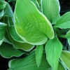 Picture of Hosta Shade Fanfare