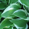 Picture of Hosta Treasure Trove