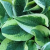 Picture of Hosta Wide Brim