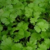 Picture of Coriander