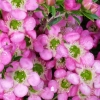 Picture of Leptospermum Tickled Pink