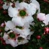 Picture of Leptospermum Cygnus