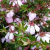 Picture of Bauera Fairy Pink
