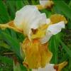 Picture of Iris Bearded Flambe