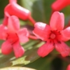 Picture of Rhododendron Vireya Little Devil