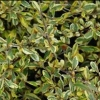 Picture of Corokia Sunsplash