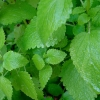 Picture of Lemon Balm