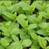 Picture of Mint