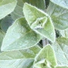 Picture of Oregano True Greek