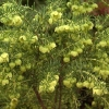 Picture of Boronia Megastigma Lutea
