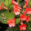Picture of Rhododendron Vireya Saxon Glow