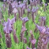 Picture of Lavender Pippa