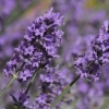 Picture of Lavender Dilly Dilly