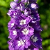 Picture of Delphinium King Arthur