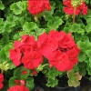 Picture of Geranium Victor