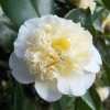 Picture of Camellia Gwenneth Morey