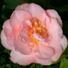 Picture of Camellia Nuccios Pink Lace
