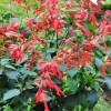 Picture of Salvia Embers Wish
