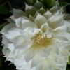 Picture of Clematis Duchess of Edinburgh