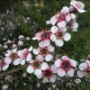 Picture of Leptospermum Mesmereyes