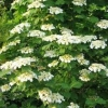 Picture of Viburnum trilobum