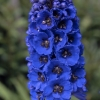Picture of Delphinium Blue Jay