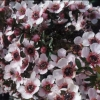 Picture of Leptospermum Blushing Star