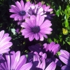 Picture of Osteospermum Cool Purple