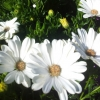Picture of Osteospermum Margarita White