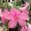 Picture of Azalea Splendens