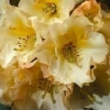 Picture of Rhododendron Horizon Monarch