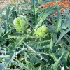 Picture of Artichoke Imperial Star