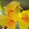 Picture of Canna Tropical Yellow