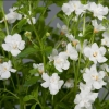 Picture of Bacopa Double White