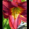 Picture of Hemerocallis Amadeus