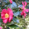 Picture of Camellia Crimson King
