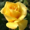Picture of Friesia Std 45cm-Rose