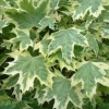 Picture of Acer Drummondii