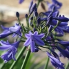 Picture of Agapanthus Lapis