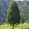 Picture of Dacrycarpus Dacrydioides