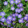 Picture of Geranium Rozanne