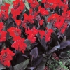 Picture of Canna Tropical Bronze Scarlet