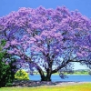 Picture of Jacaranda Mimosifolia