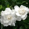 Picture of Gardenia Crown Jewels