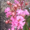 Picture of Lagerstroemia Little Chief