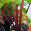 Picture of Rhubarb Crimson Crumble