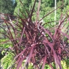 Picture of Cordyline Red Fountain