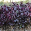 Picture of Alternanthera Little Ruby