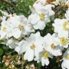 Picture of The Daisy Rose Clg-Rose