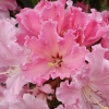 Picture of Rhododendron Party Package